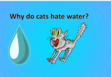 2c95a18a49e8 Γιατί οι γάτες μισούν το νερό  - Petpet.news