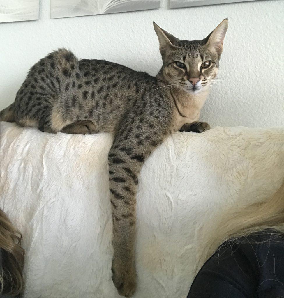 8c2b31c0f3e3 Το μέγεθός τους εξαρτάται από την παραγωγή και το φύλο. Οι αρσενικές είναι  συνήθως μεγαλύτερες. Γενικά οι γάτες αυτές είναι συνήθως από 7 μέχρι 30  κιλά.
