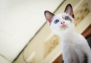 0142e1f55a5a 4 πράγματα που πρέπει να ξέρετε για τις γάτες που έχουν μπλε μάτια ...