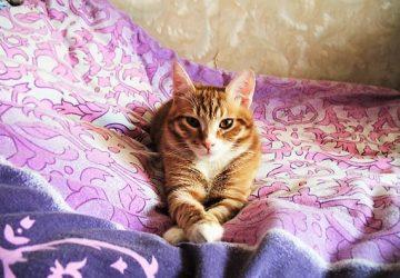 8b3c1c058052 5 -μη παθολογικοί- λόγοι που η γάτα σας ουρεί στο κρεβάτι - Petpet.news