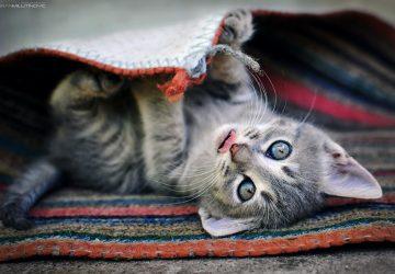 8bb12399f221 3 βασικά που πρέπει να ξέρεις αν έχεις γάτα - Petpet.news