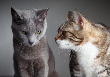 abd94d676106 Φέρνοντας δεύτερη γάτα σπίτι  Ακολουθήστε 4 βήματα - Petpet.news