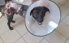 5feb7ff6c9b5 Τα κατάφερε ο αδέσποτος σκυλάκος που βρέθηκε με εγκαύματα σε όλο του το  σώμα στο Μάτι Αττικής