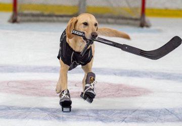 10a9e7feb411 Γλύτωσε από ευθανασία και έγινε ο πρώτος σκύλος στον κόσμο που κάνει  ice-skating